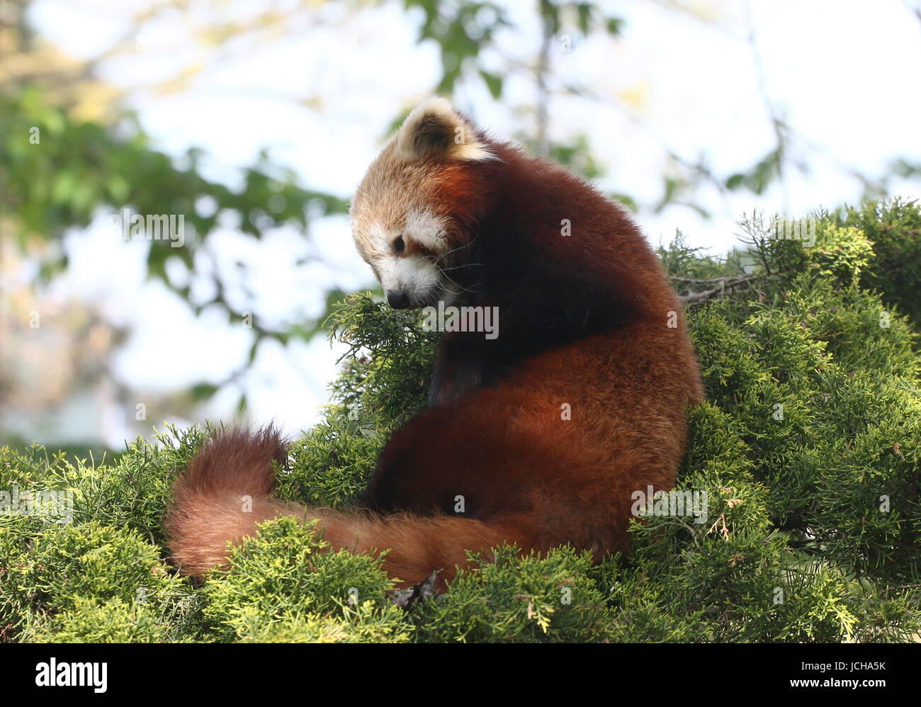Drowsy Asian Red Panda (Ailurus fulgens) in a tree, ready to take a nap. - Stock Image