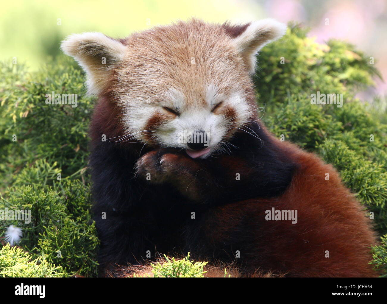 Asian Red Panda (Ailurus fulgens) in a tree, ready to take a nap. - Stock Image