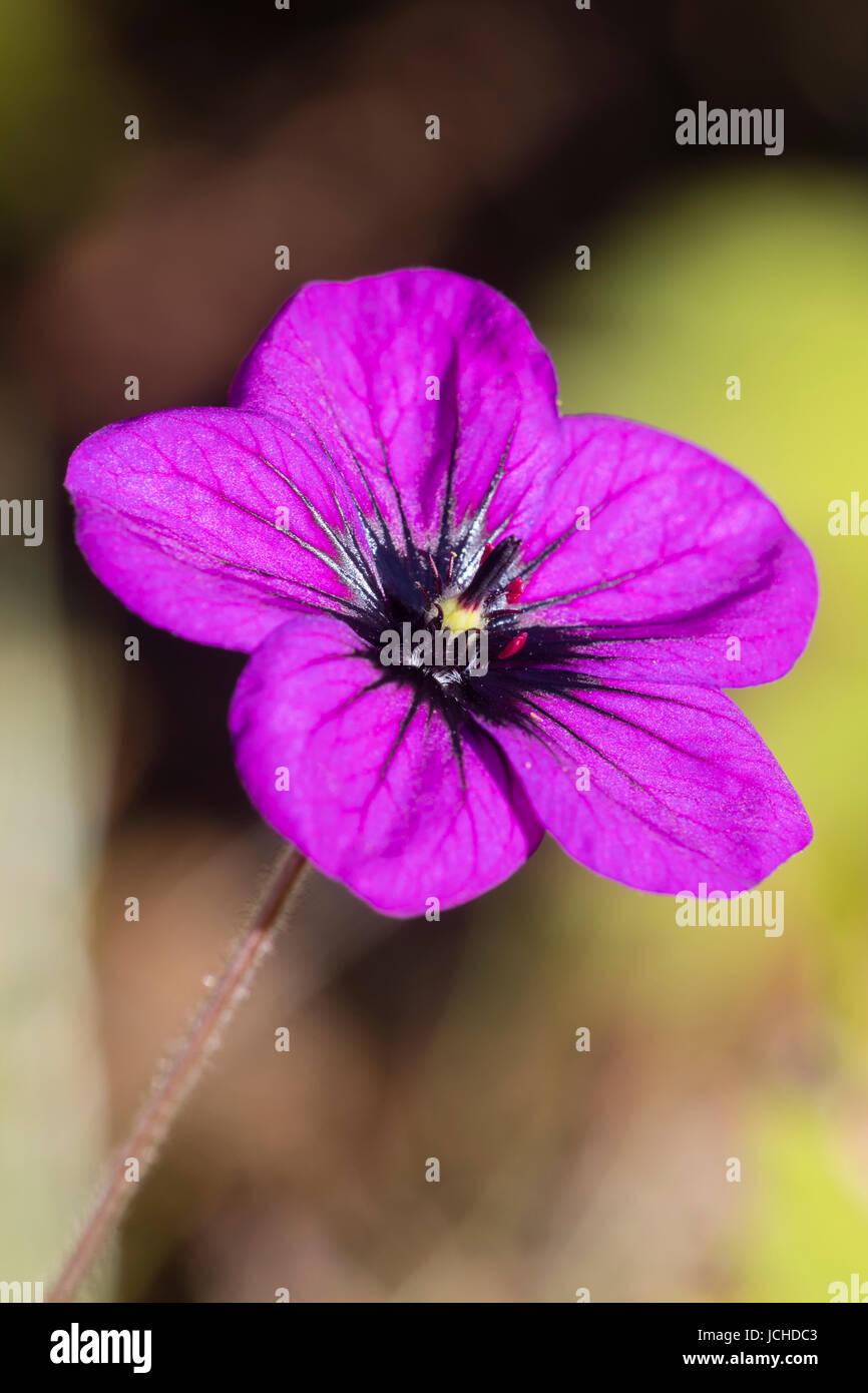 Single bright purple flower of the sprawling hardy perennial, Geranium 'Anne Folkard' - Stock Image