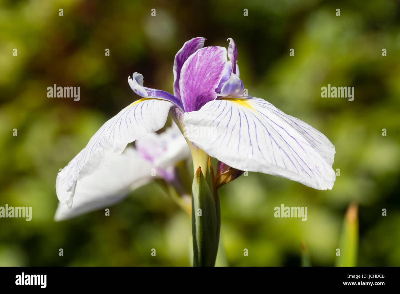 Veined white falls and purple standards of the early summer flowering water iris, Iris ensata 'Dresden China' - Stock Image