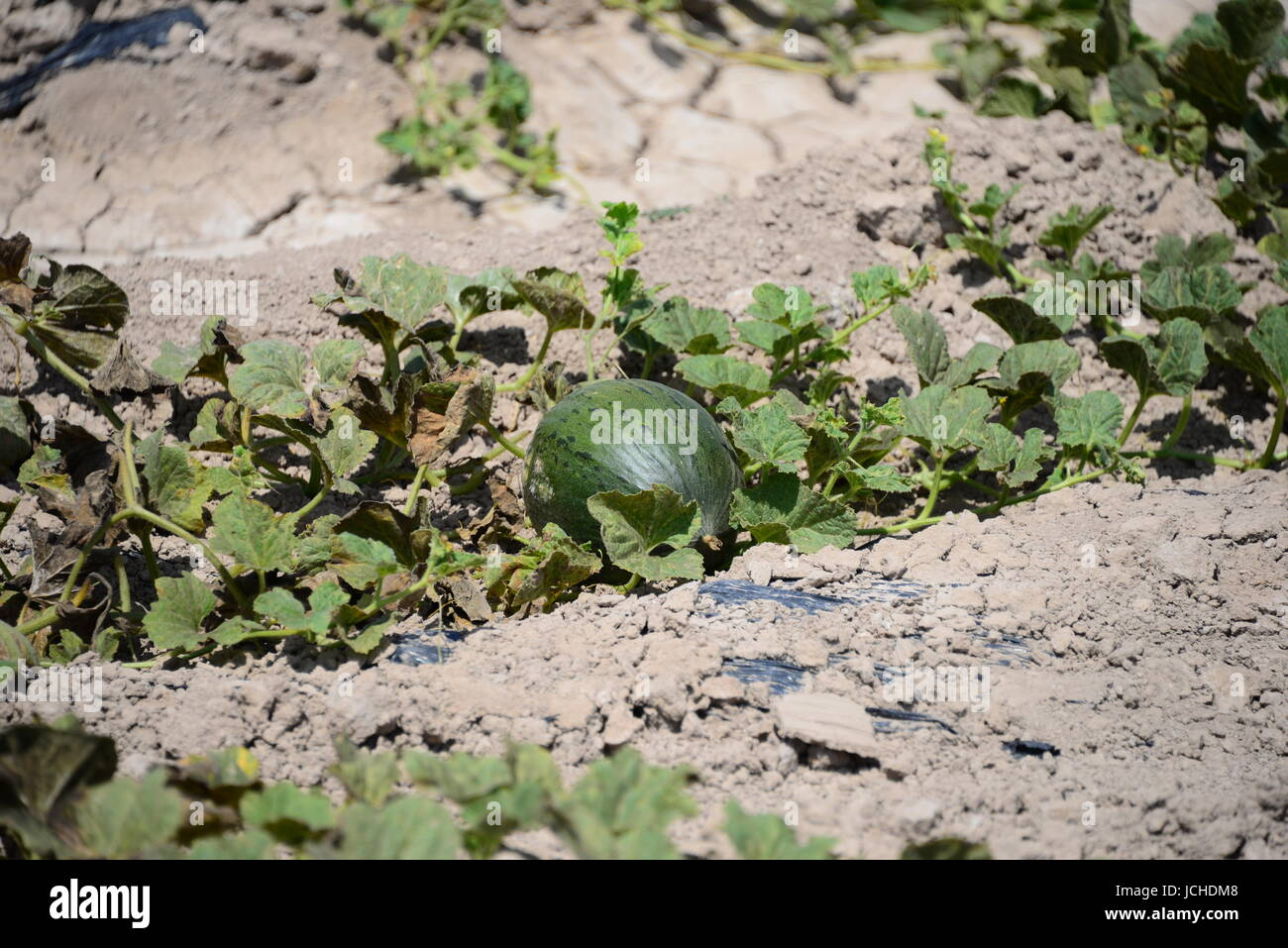 watermelon in spain on the field Stock Photo