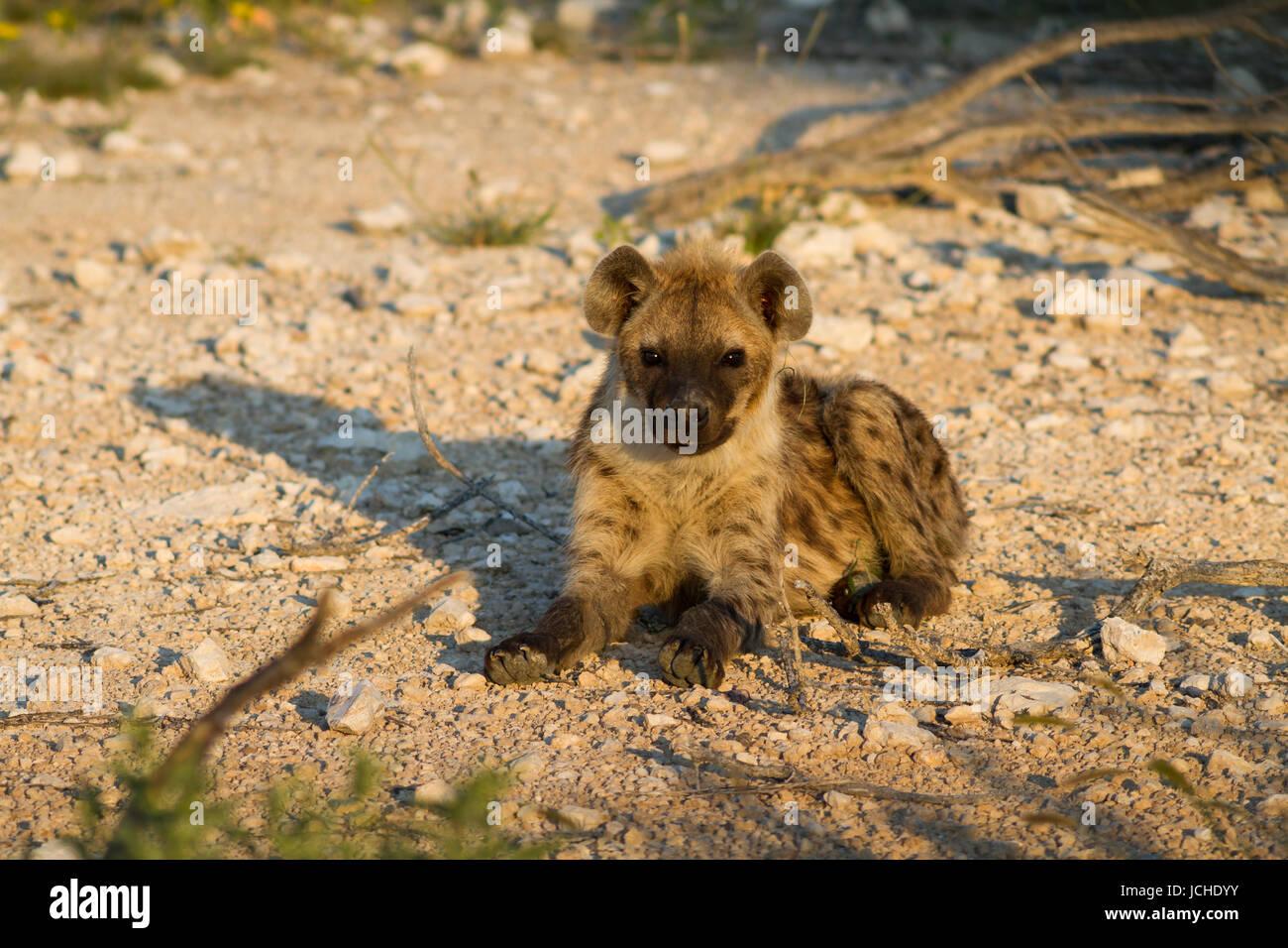 Close up of a spotted hyena, Etosha National Park, Namibia, Africa Stock Photo