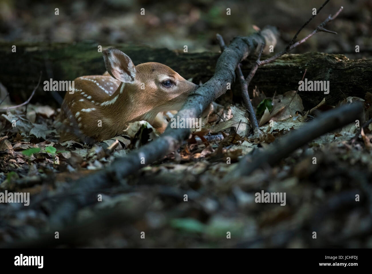 Fawn whitetail deer hidden next to a log. - Stock Image