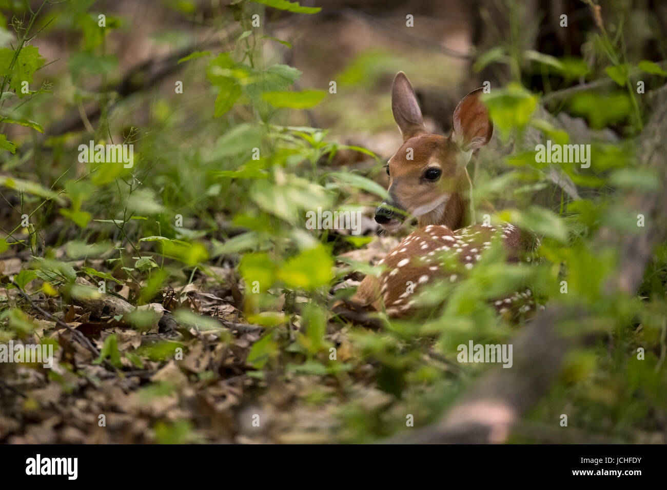 A fawn whitetail deer hidden in the forest. - Stock Image