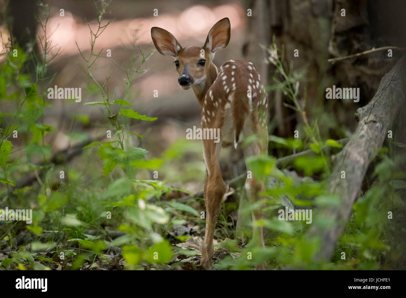 A fawn whitetail deer looking back. - Stock Image