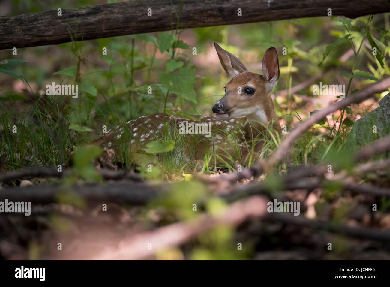 A hidden fawn whitetail deer. - Stock Image