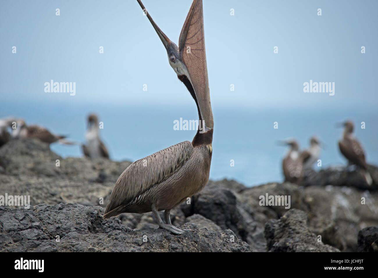 Brown pelican yawning - Stock Image