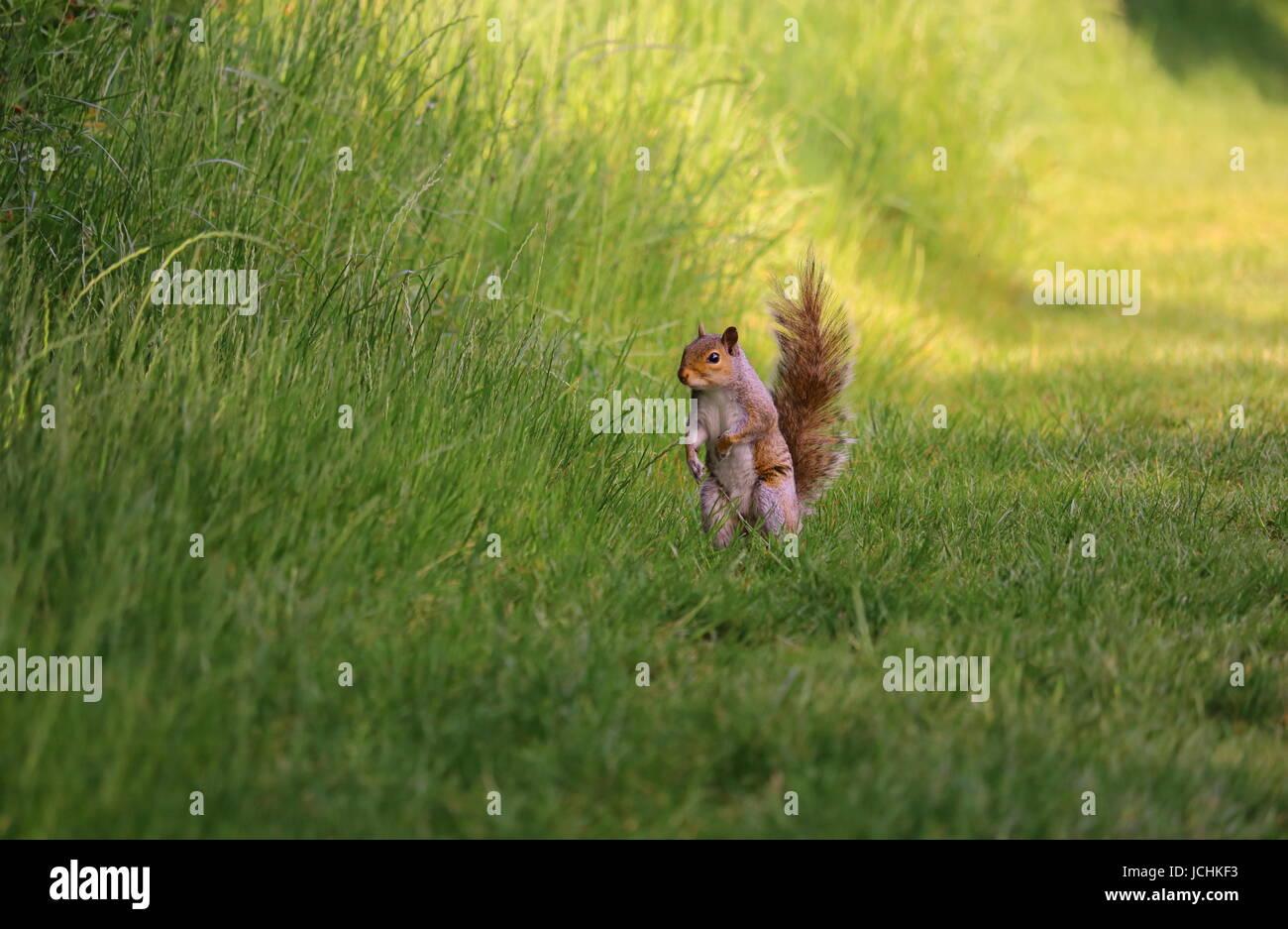 Squirrel caught unaware - Stock Image