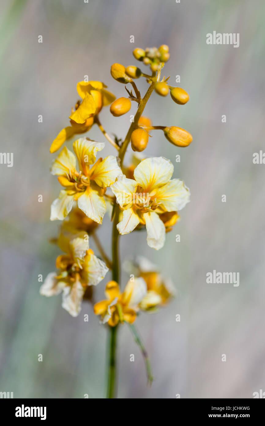 Close up view of Desert senna bush flowers (Senna armata) - Mojave desert, California USA - Stock Image