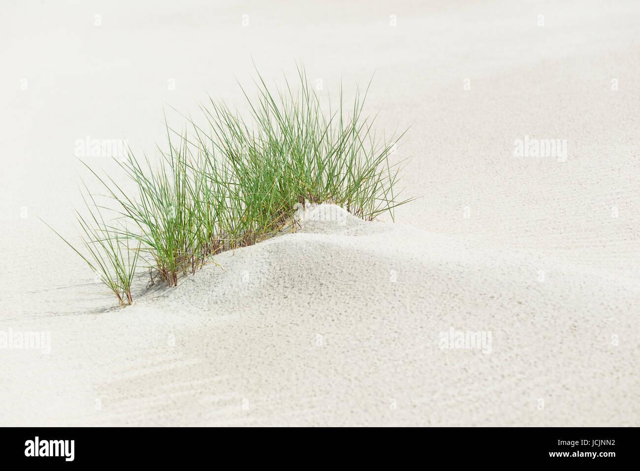 European Marram Gras (Ammophila arenaria) in fine sand, Norderney, East Frisian Islands, Lower Saxony, Germany - Stock Image