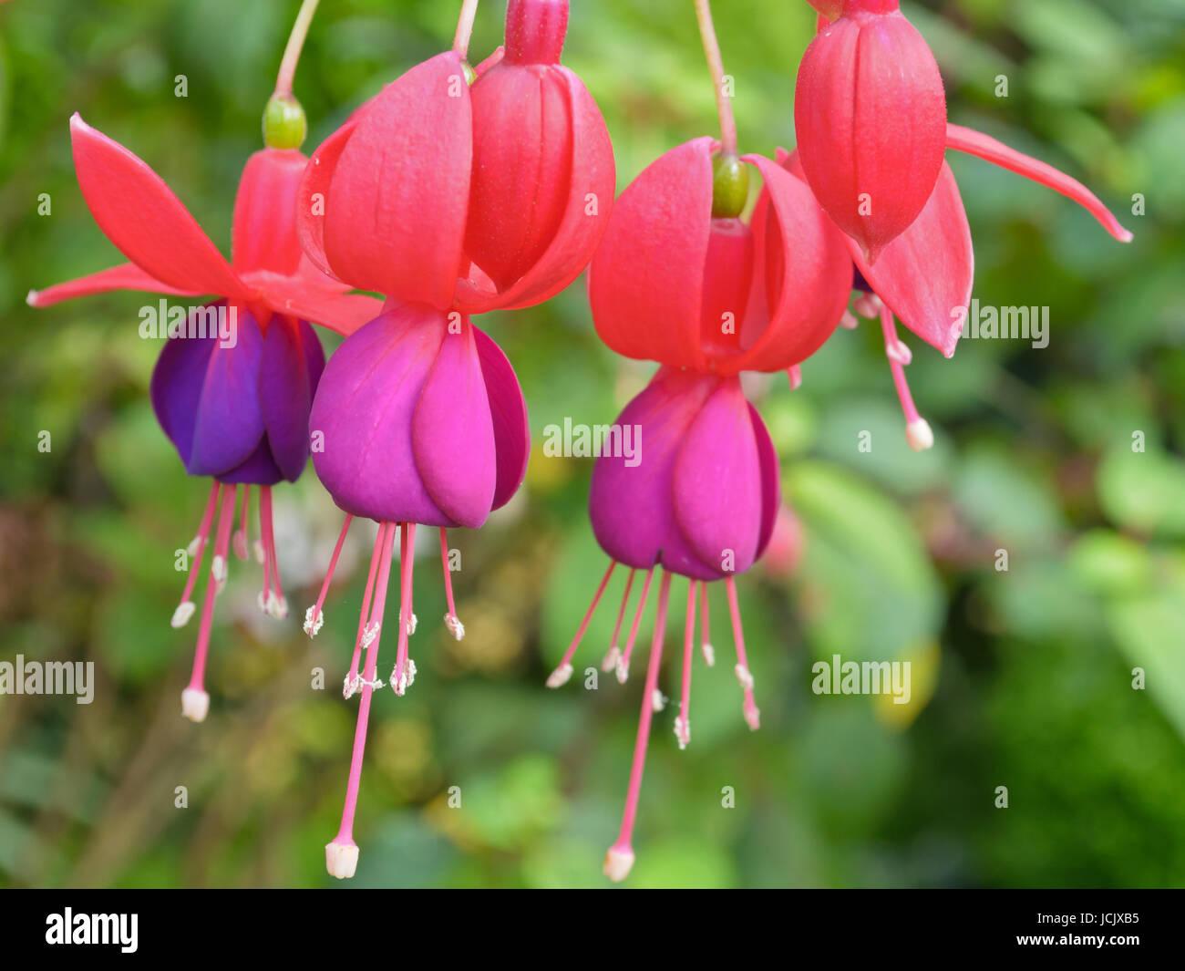 Ladys eardrops fuchsia beautiful exotic flowers that grow and ladys eardrops fuchsia beautiful exotic flowers that grow and bloom at the cold weather in winter of thailand izmirmasajfo