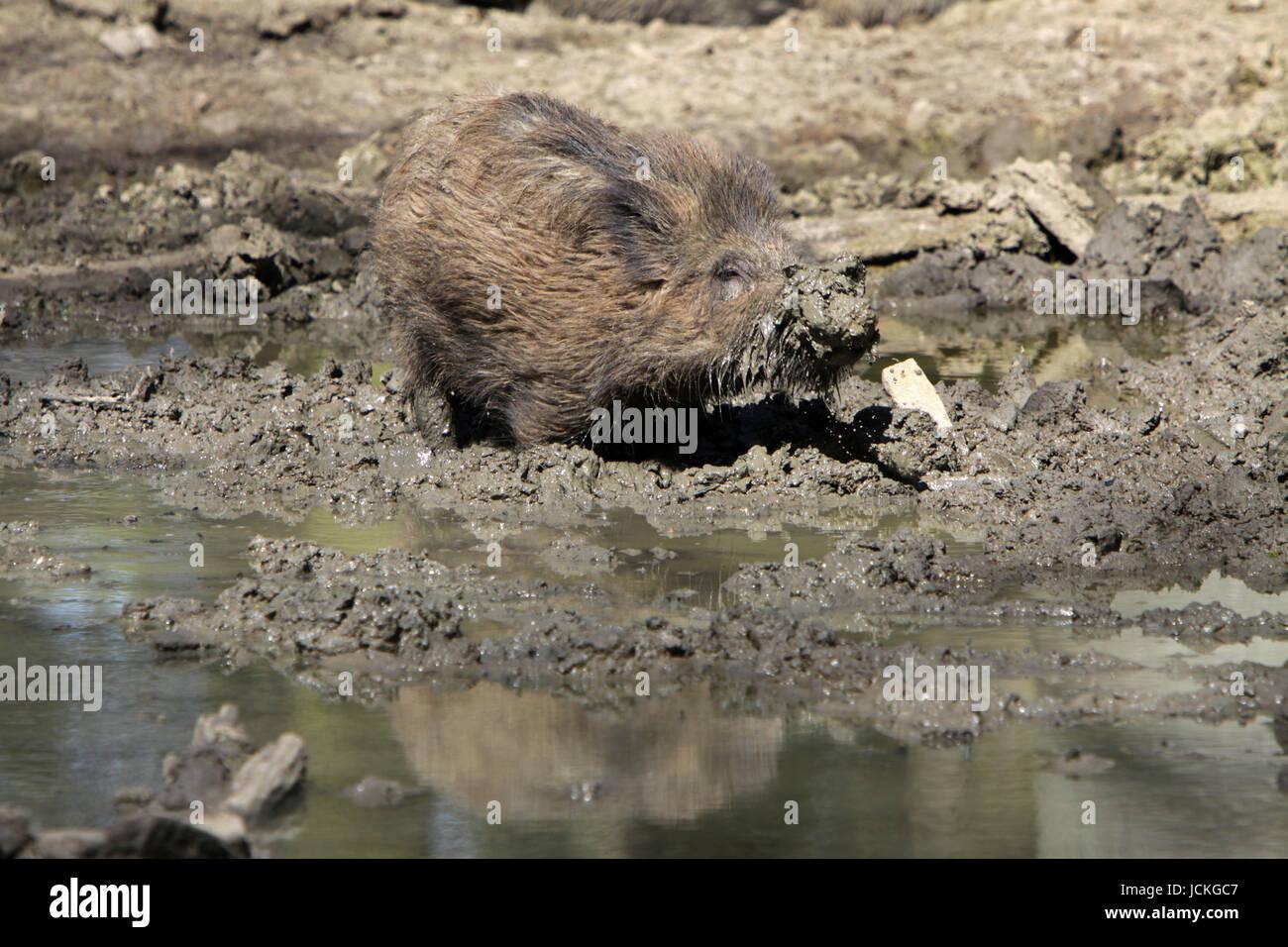 Wühlendes Wildschwein - Stock Image