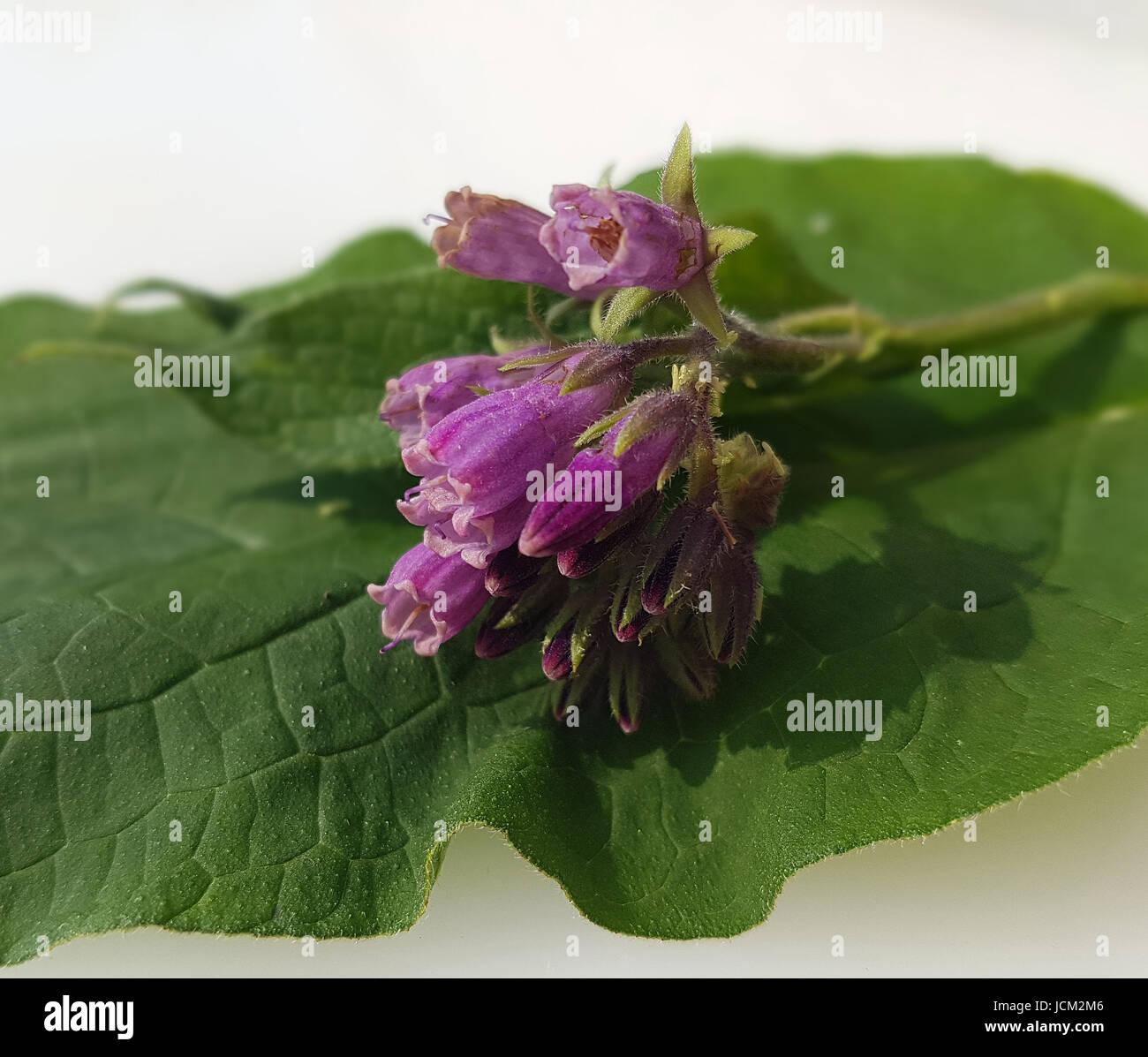 Beinwell, Symphytum, officinale, Heilpflanze - Stock Image