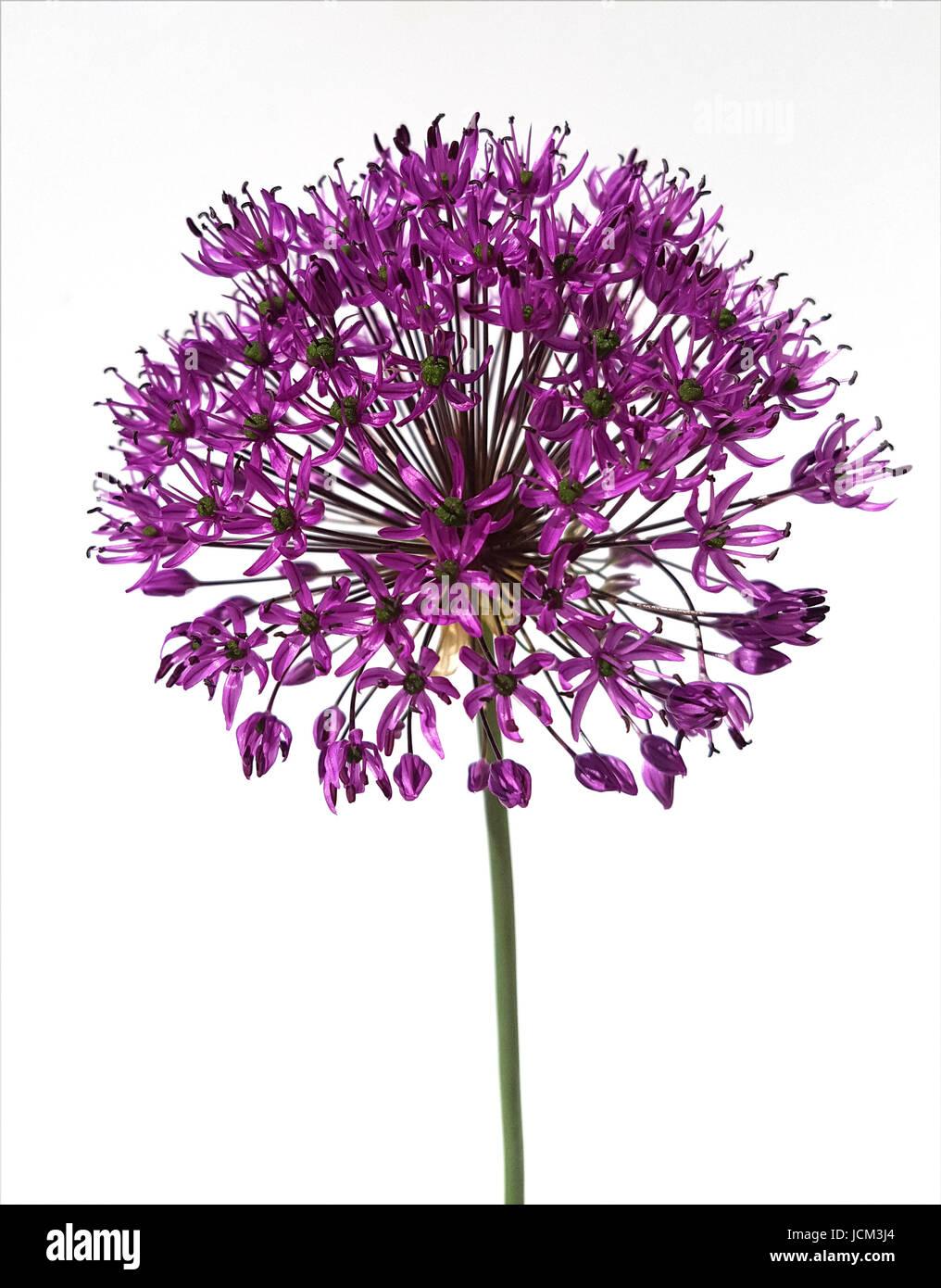 Zierlauch, Riesenlauch, Allium, - Stock Image