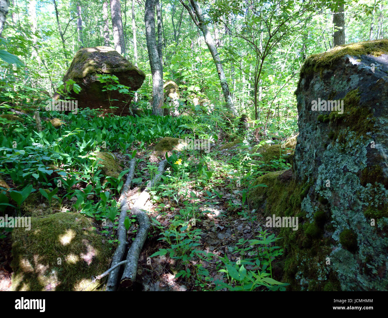 forest in europe - finland - Stock Image