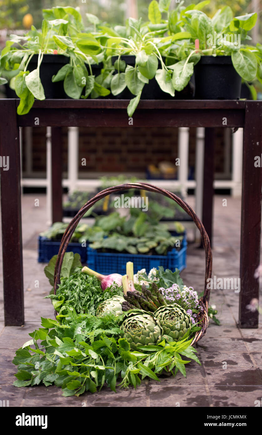 Basket of freshly picked vegetables including artichokes, garlic and asparagus in a glasshouse UK - Stock Image