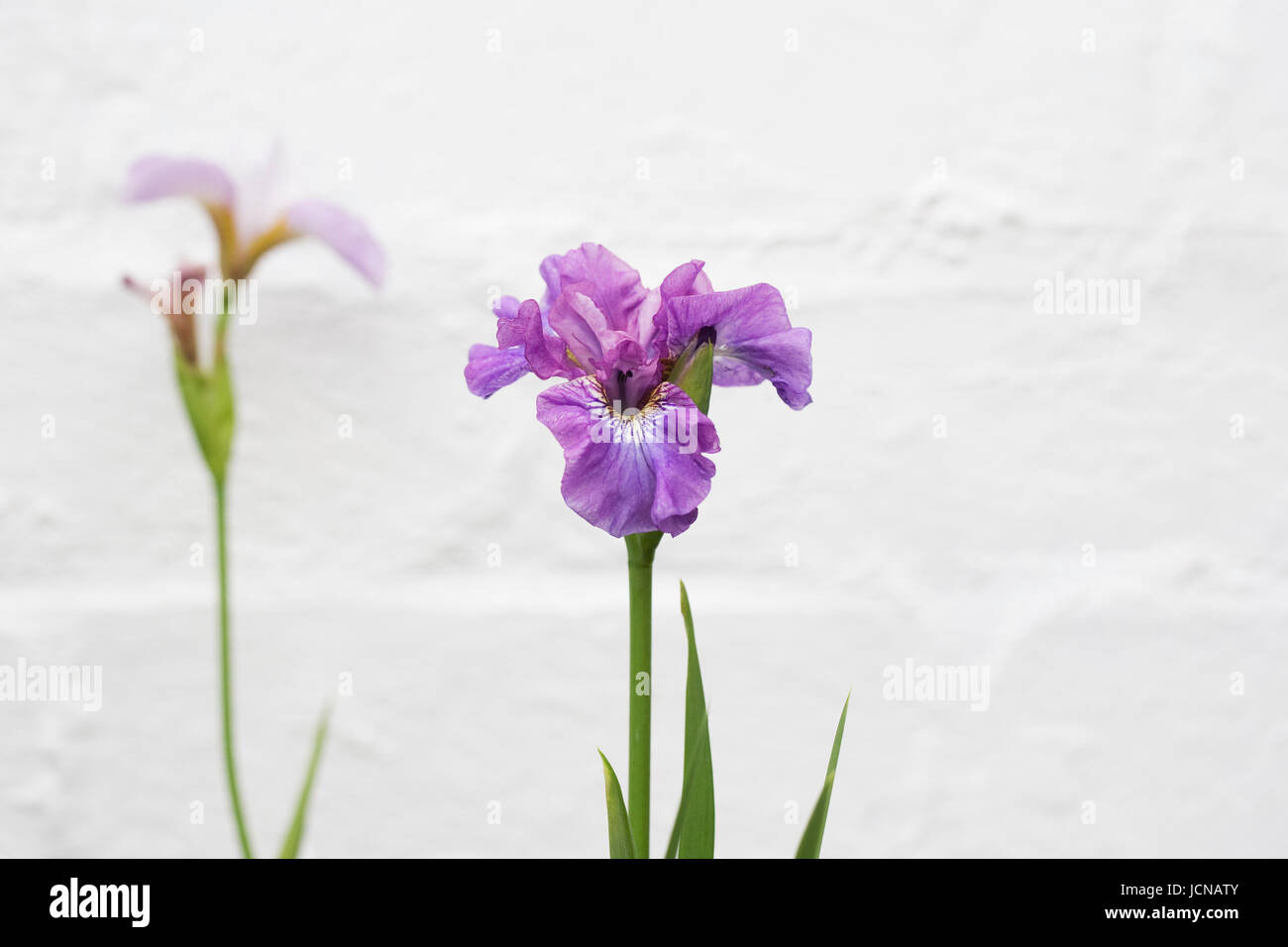 Iris sibirica 'Temper Tantrum' against a white wall. - Stock Image