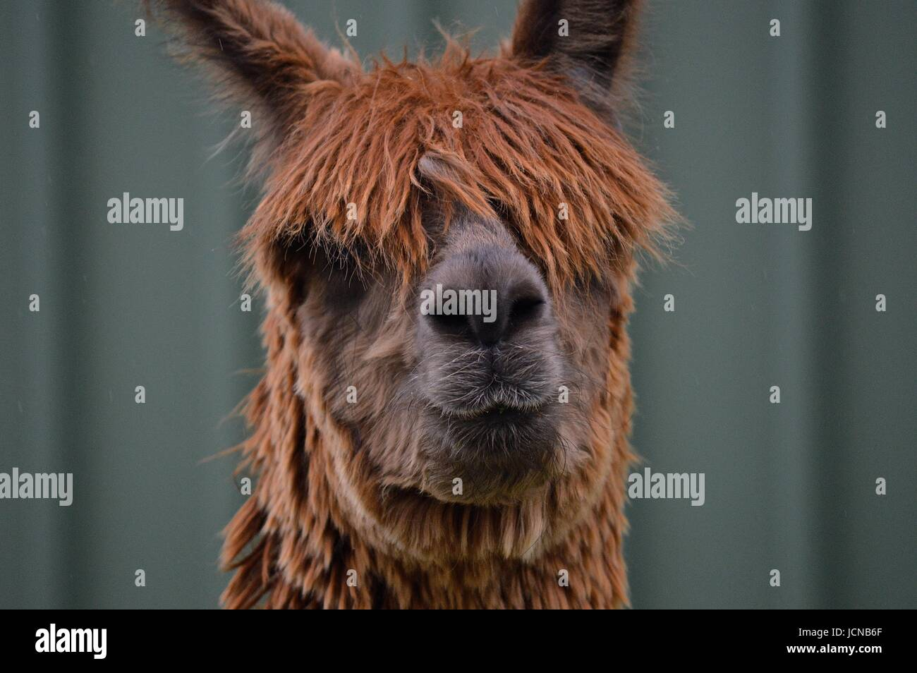 Brown suri alpaca face - Stock Image
