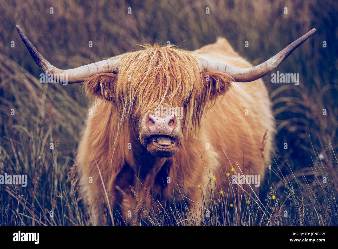 Highland Cow with long horns grazing in the Peak District near Baslow Edge and Curbar Edge - Stock Image