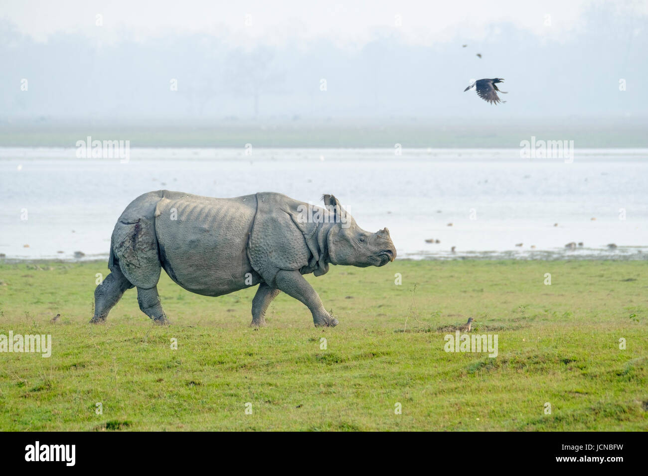 Indian rhinoceros (Rhinoceros unicornis),  native to the  Indian subcontinent, (vulnerable species). - Stock Image