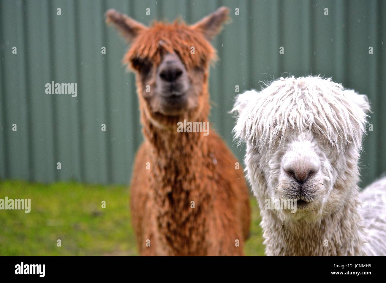 White and brown Suri Alpacas Stock Photo