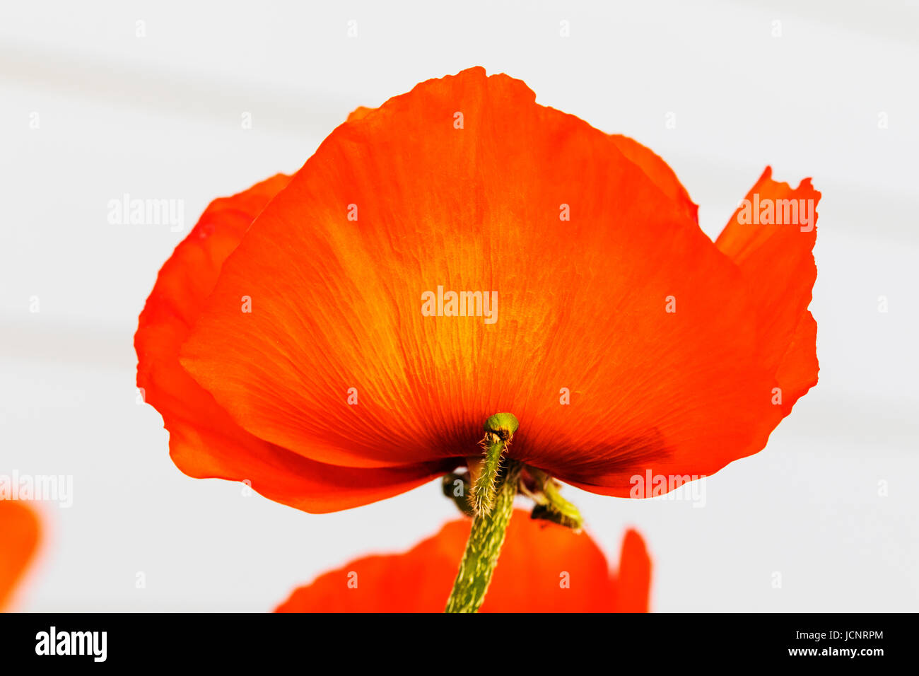 Orange red color poppies in full bloom; Papaveroideae; Papaveraceae ...