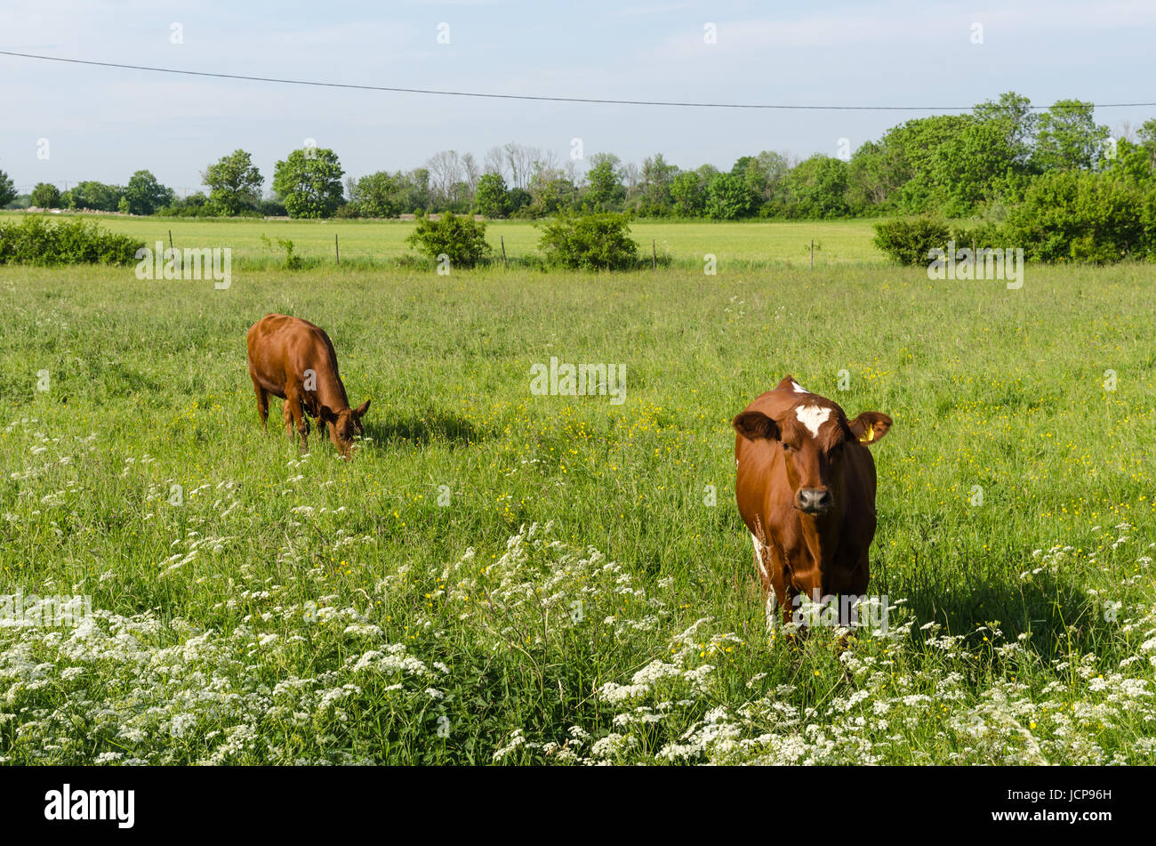 Swedish countryside summer scene with two grazing young cows - Stock Image