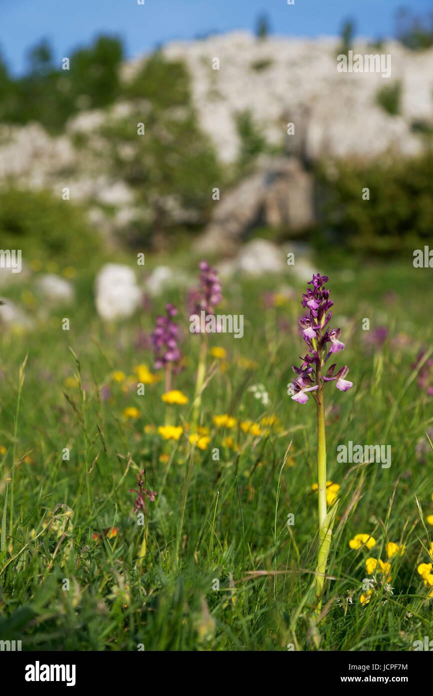 Orchids from Biokovo nature park, Croatia - Stock Image