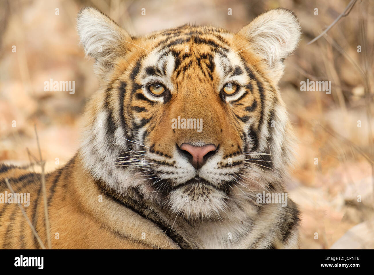 Portrait of a Bengal tiger, (Panthera tigris tigris) - Stock Image