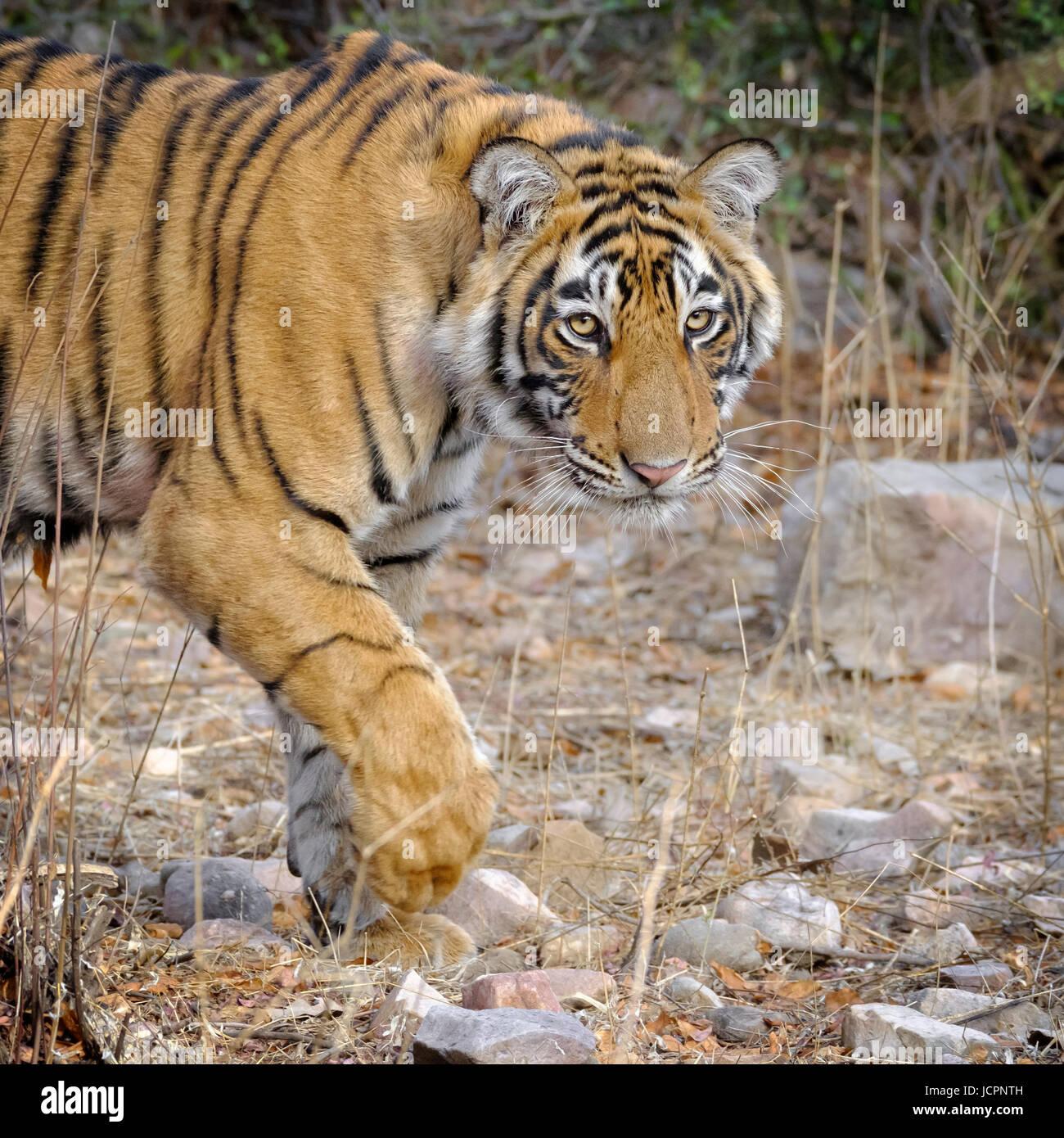 Bengal tiger, (Panthera tigris tigris) walking across rocks - Stock Image