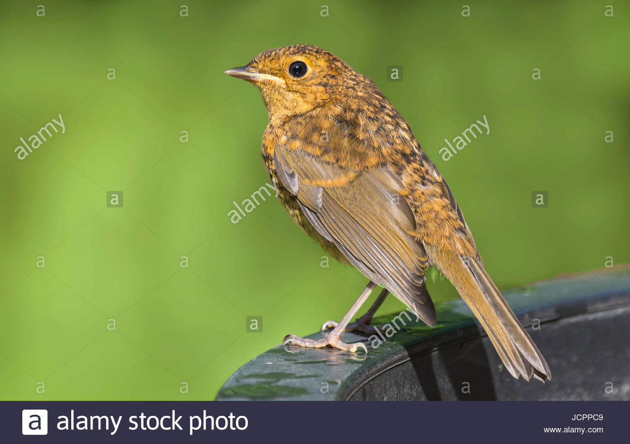 Fledgling Robin redbreast (Erithacus rubecula) perched in Summer in West Sussex, England, UK. Fledgling Robin with - Stock Image