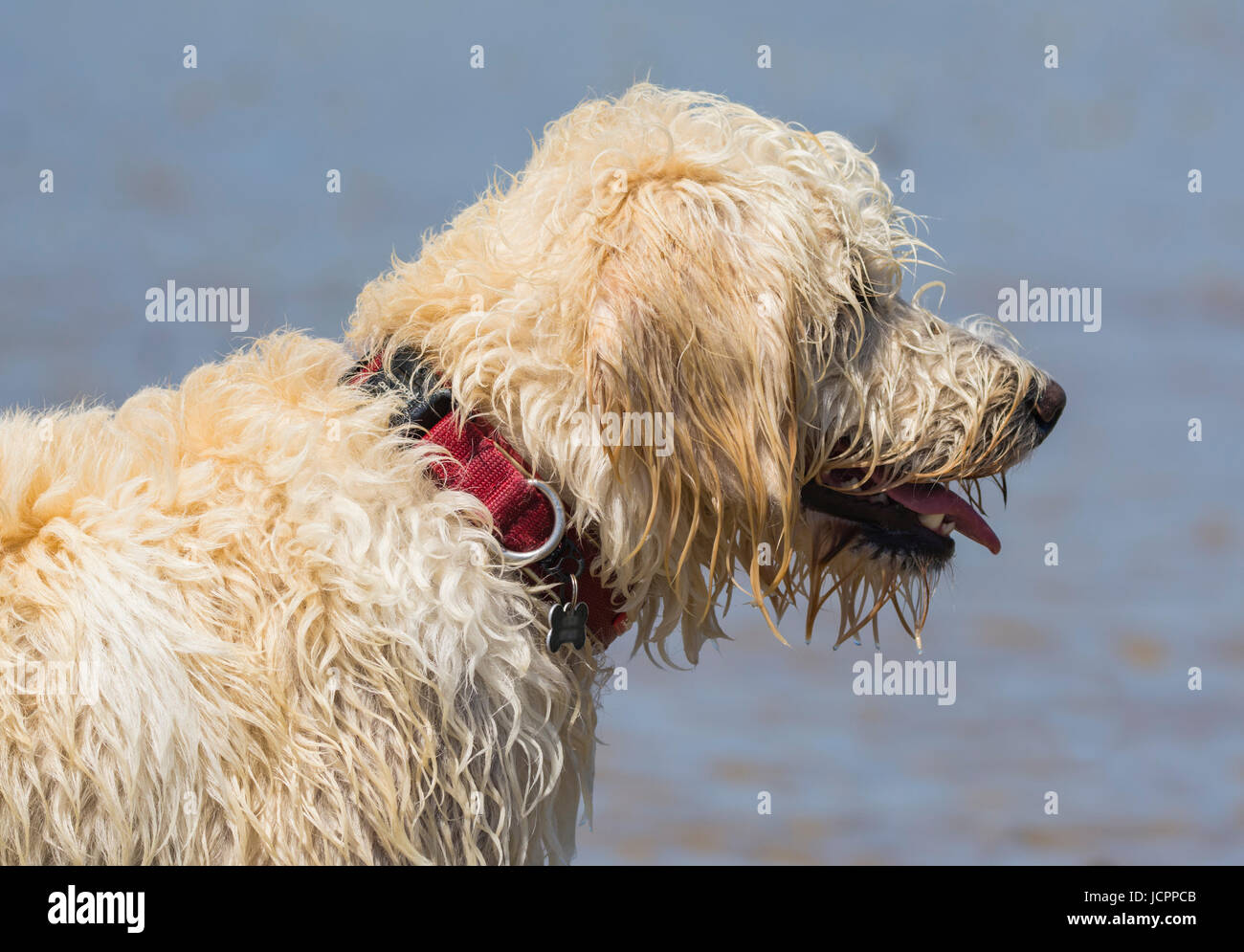 Labradoodle dog. Side view of the head and neck of a white male labradoodle dog (Canis lupus familiaris). - Stock Image