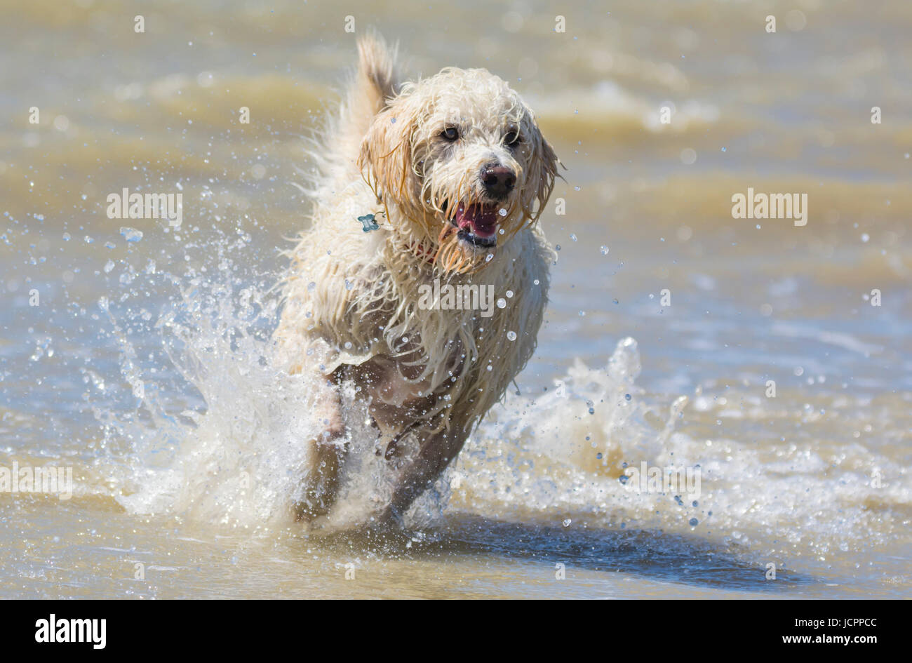 Labradoodle dog. White male labradoodle dog (Canis lupus familiaris) running on a beach after coming out of the Stock Photo