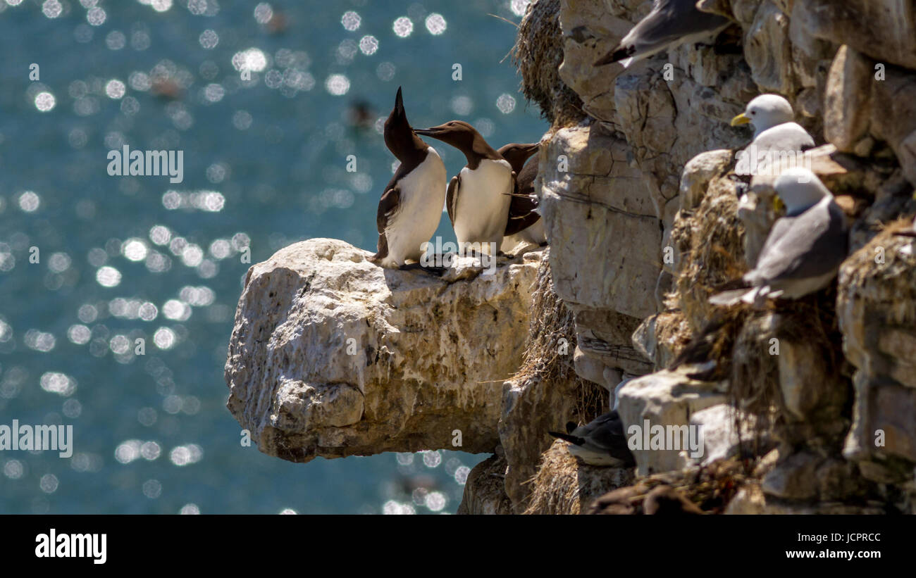 Pair of guillemots affectionately preening each other on a coastal chalk cliff full of seabirds, Flamborough, Yorkshire, - Stock Image