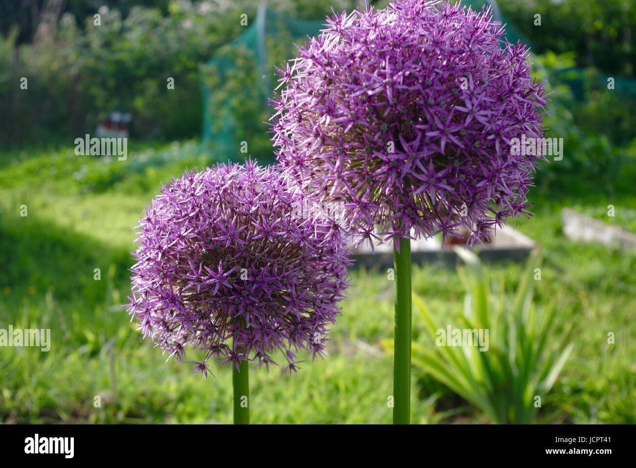 Allium Flowers Growing on an Allotment Plot. Exeter, Devon, UK. June, 2017. - Stock Image