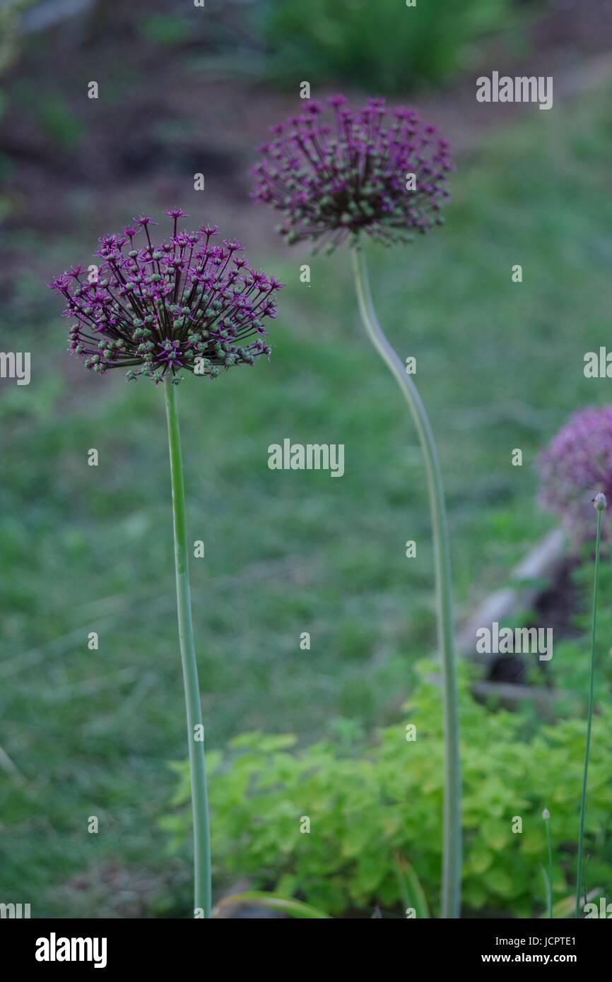 Purple Allium Flowers, Allotment Garden. Exeter, Devon, UK. June, 2017. - Stock Image