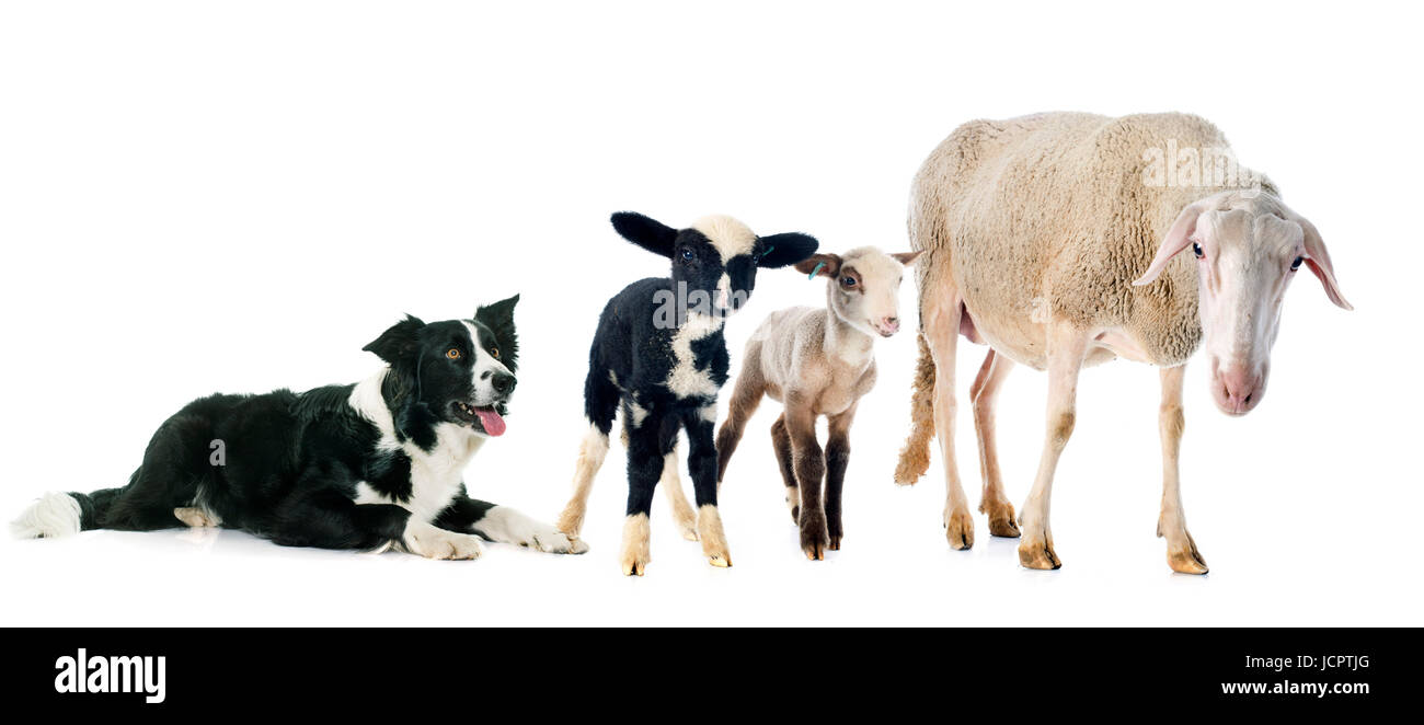 black and white border collie in front of white background Stock Photo