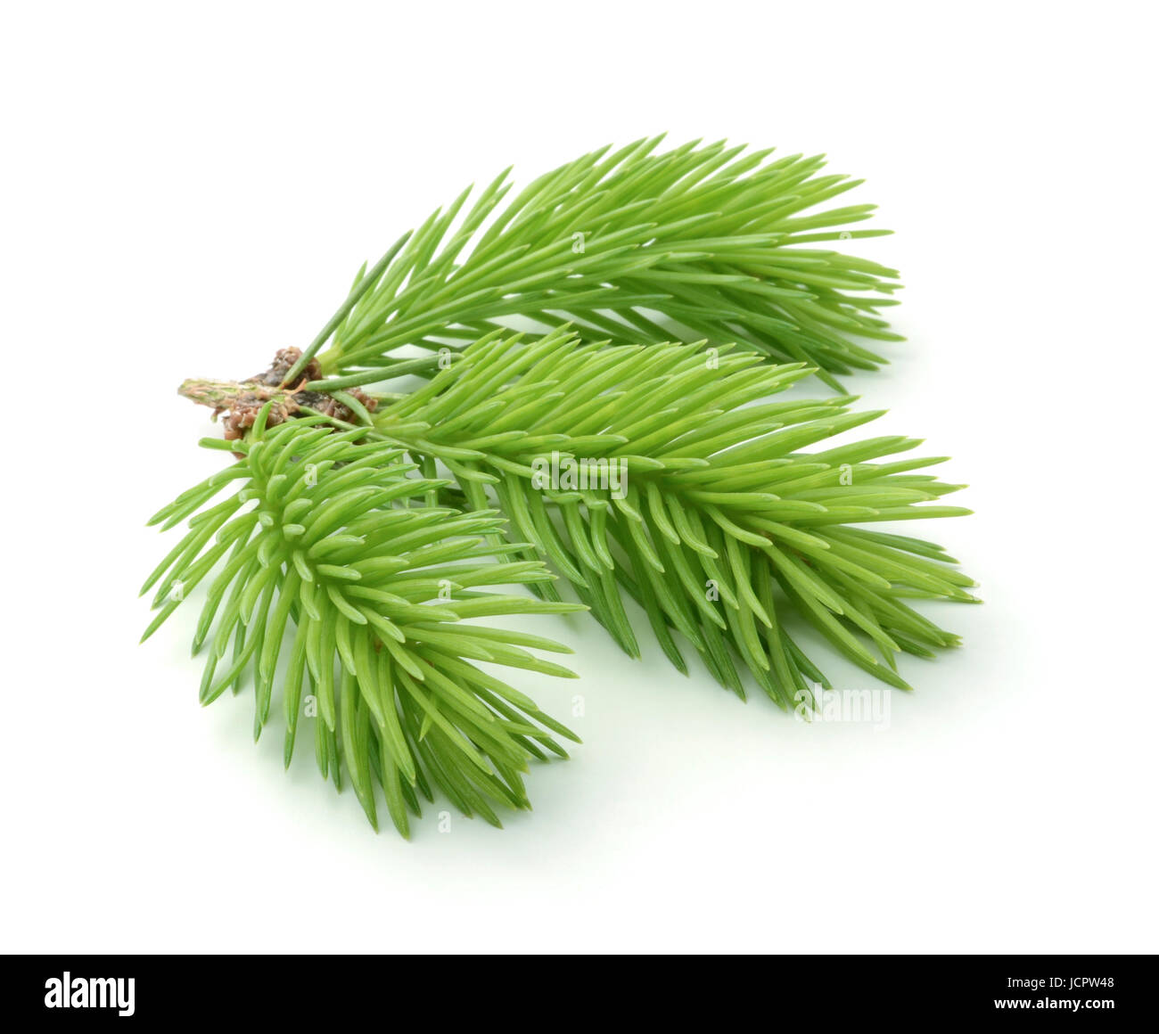 Young sprig of spruce isolated on white background - Stock Image