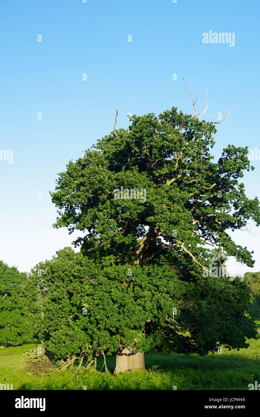 Ancient Oak Tree, Powderham Castle. Devon, UK. June, 2017. - Stock Image