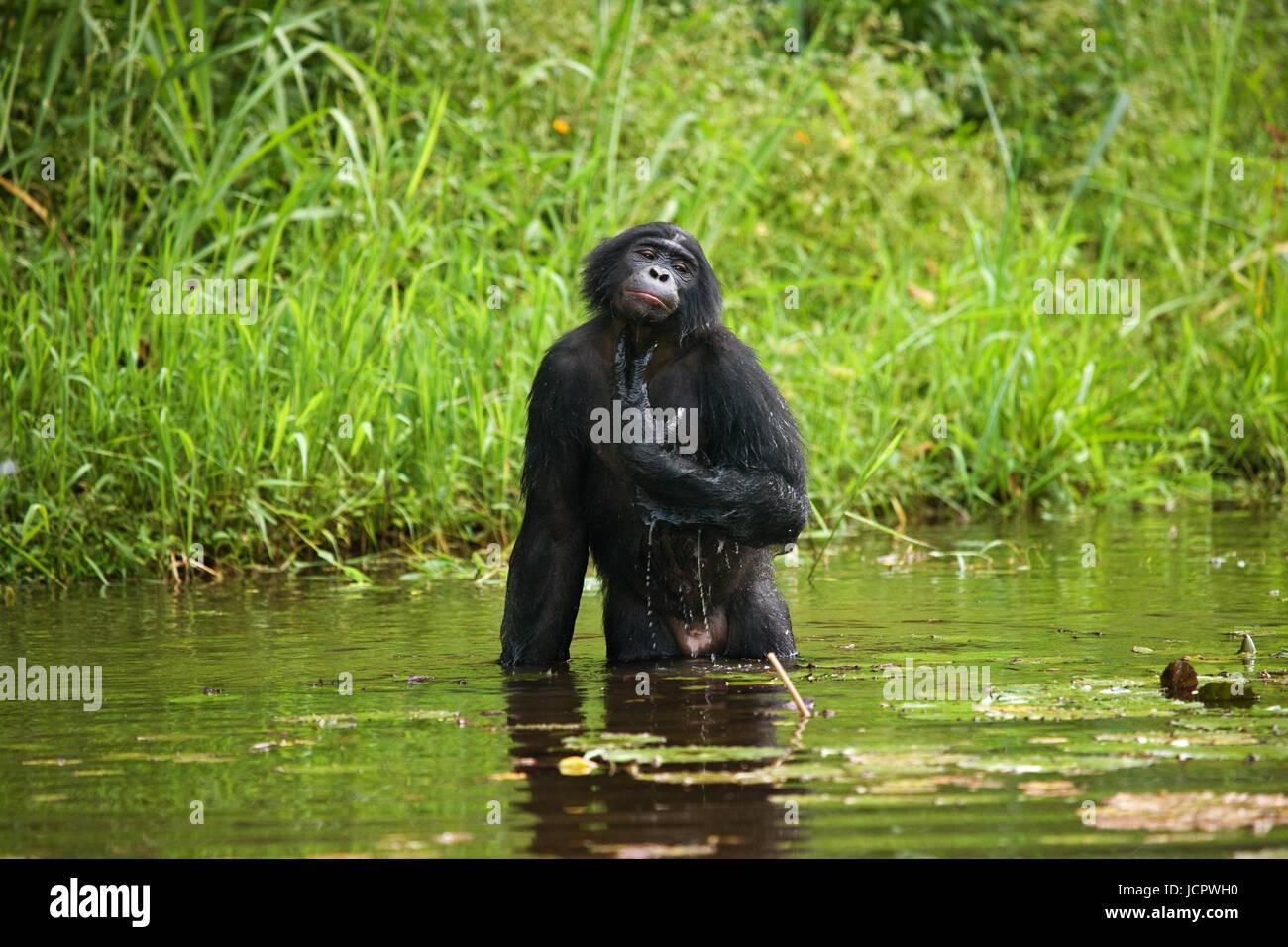 Bonobo sits at the pond. Democratic Republic of Congo. Lola Ya BONOBO National Park. An excellent illustration. - Stock Image