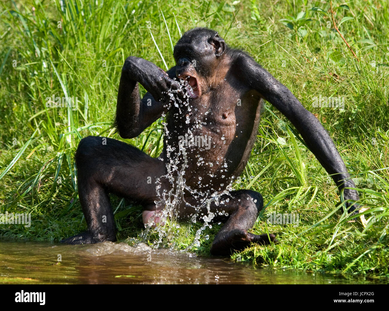 Bonobo playing with water. Democratic Republic of Congo. Lola Ya BONOBO National Park. An excellent illustration. - Stock Image