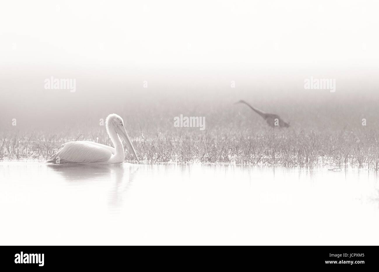 pelican and darter on a foggy morning - Stock Image