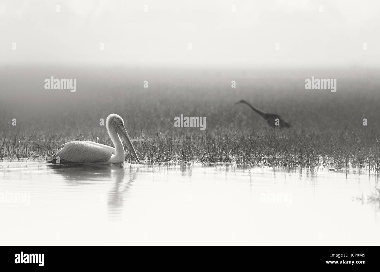 pelican and darter bird on a misty morning - Stock Image