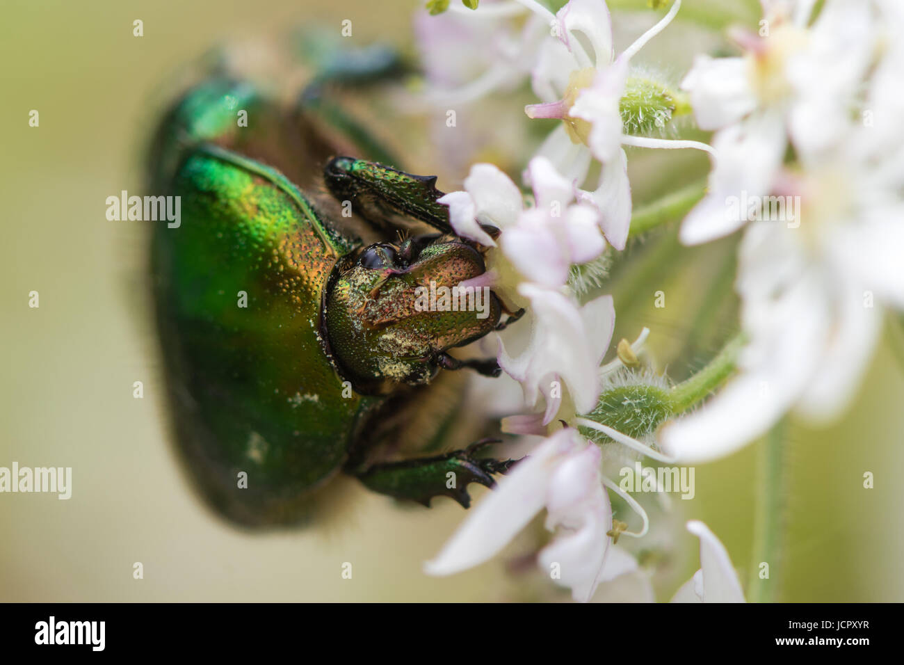 Rose chafer (Cetonia aurata) feeding on hogweed (Heracleum sphondylium). Large green beetle in the family Scarabaeidae - Stock Image