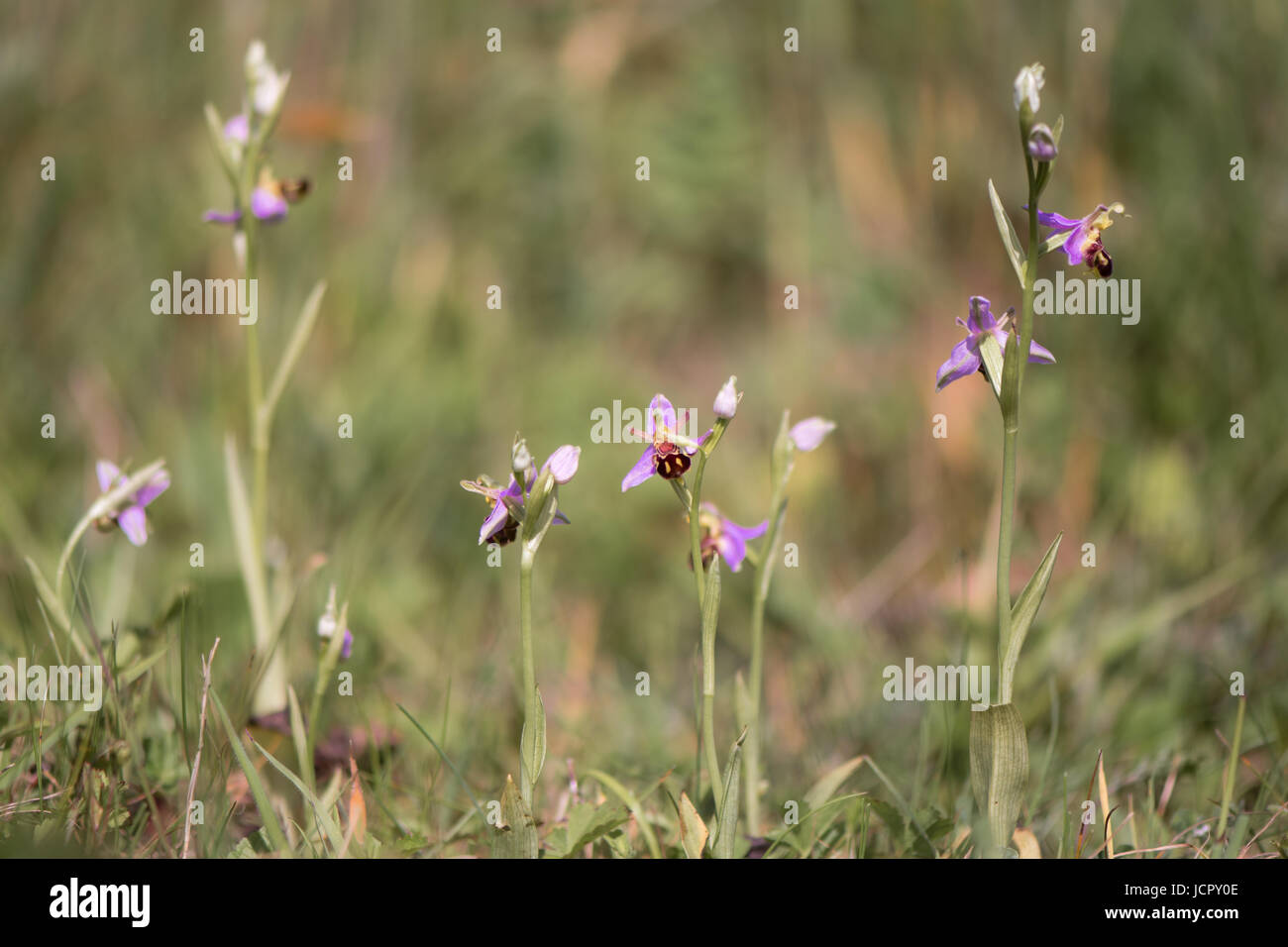 Group of bee orchids (Ophrys apifera) in flower. Plants in the family Orchidaceae, mimicing female bees to attract - Stock Image