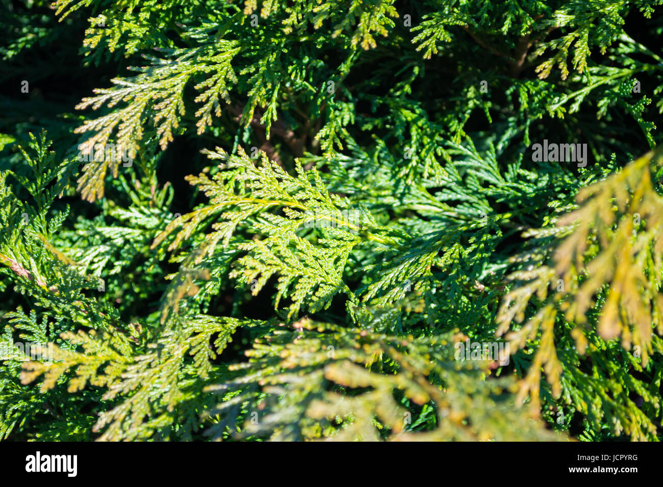 Thuya plant on spring. Green texture, background. - Stock Image