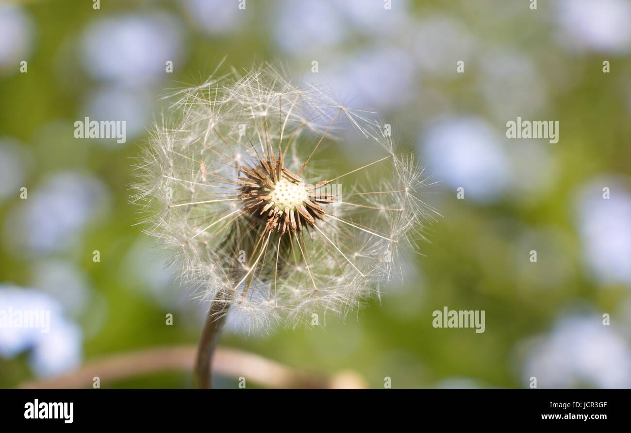 a single seeding dandelion - Stock Image