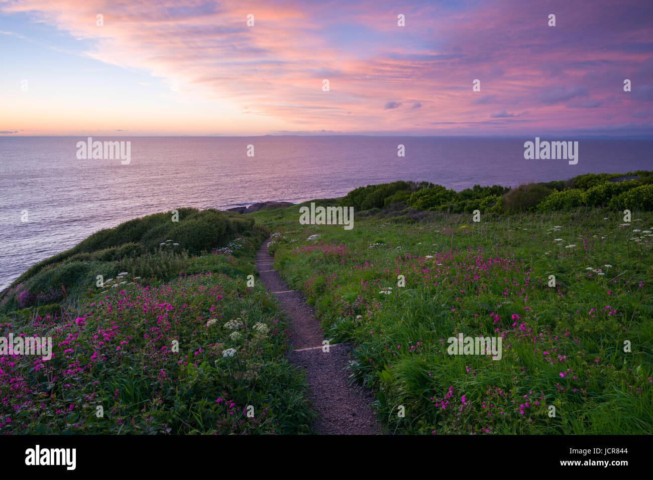 Sea Campion in flower on Rillage Point on the North Devon Heritage Coast at dusk. Ilfracombe, England. Stock Photo