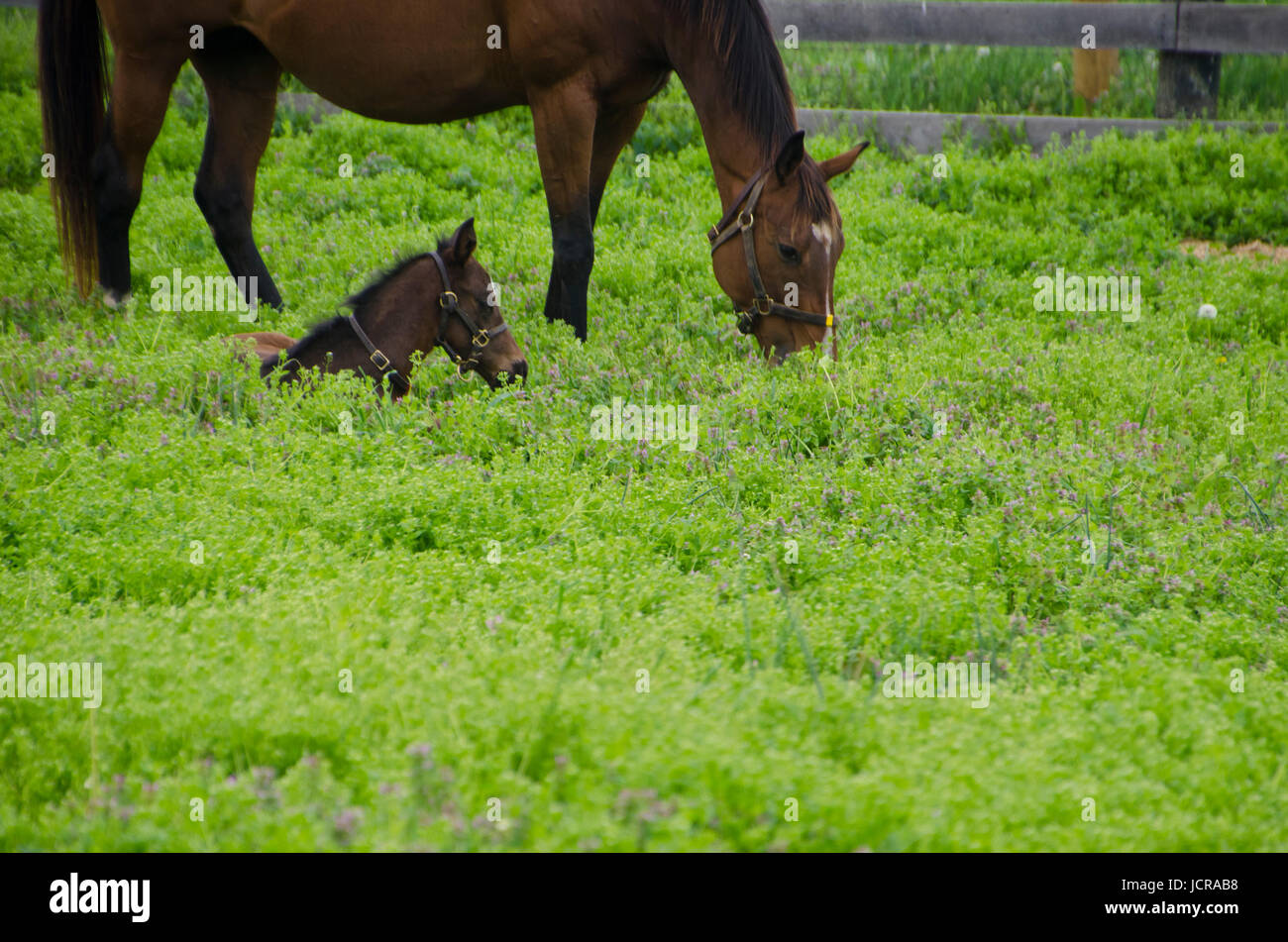 Foal lying in field near mare Lexington KY - Stock Image