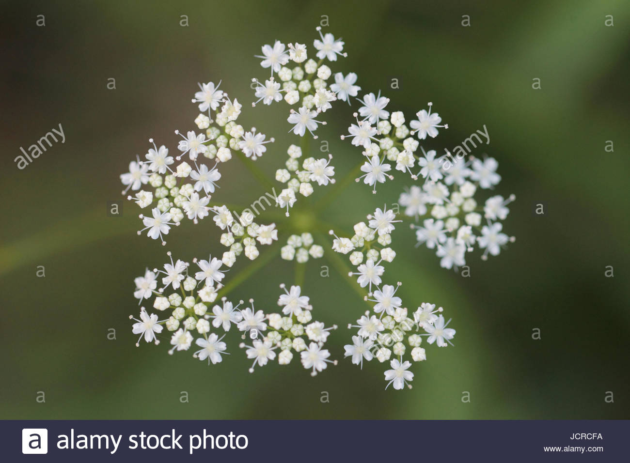 Close up of Apiaceae or Umbelliferae flowers, commonly known as the celery, carrot or parsley family. Stock Photo